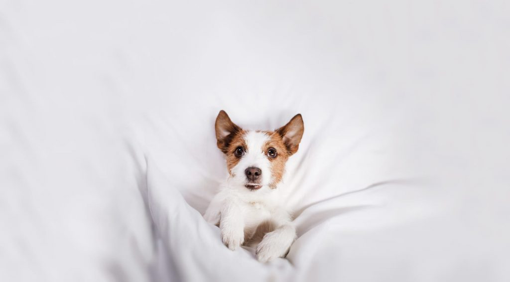 Jack Russel Terrier tucked into bed